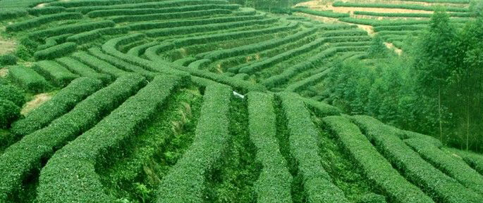 Чайный куст и чайное дерево
